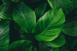 Green leaves background. Green leaves color tone dark in the morning.