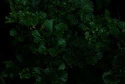 Green leaves background. Green leaves color tone dark  in the morning.Tropical Plant,environment,photo concept nature and plant.