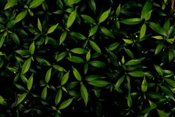 Green leaves background.Green leaves color tone dark  in the morning.Tropical Plant in Thailand,environment,good air,fresh.photo concept nature and plant.