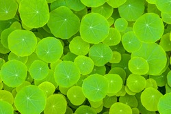 Green leaves background - The round shape - Water Pennywort or Hydrocotyle verticillata plant