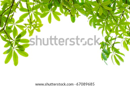 Green leaves branch isolated on white