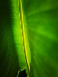 Green leaves can be taken as a background or wall image.
