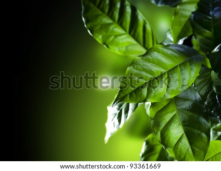 Green Leaves.Coffee Arabica Plant isolated on black - stock photo