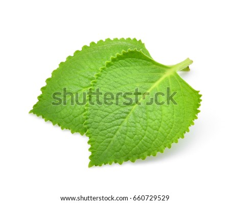 green leaves  country borage...