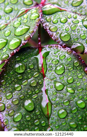 Green leaves covered by drops of dew