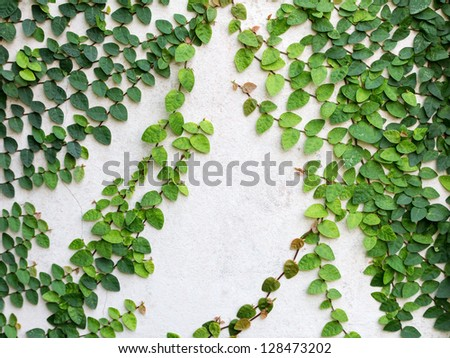 Green leaves creeper plant on the wall for background