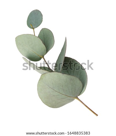 Green leaves eucalyptus isolated on white background. Сток-фото ©