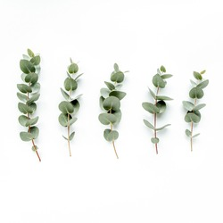 green leaves eucalyptus on white background. flat lay, top view