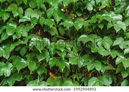 Green leaves for background, leaf texture background