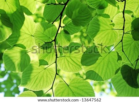 green leaves glowing in sunlight