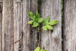 Green leaves grow by an old wooden fence made of rough planks with crooked rusty nails
