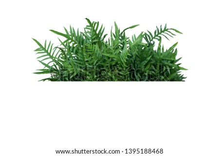 Green leaves Hawaiian Laua'e fern or Wart fern tropical foliage plant bush nature backdrop isolated on white background, clipping path included.