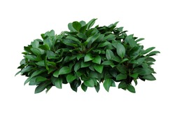 Green leaves hosta plant bush, lush foliage tropic garden plant isolated on white background with clipping path.