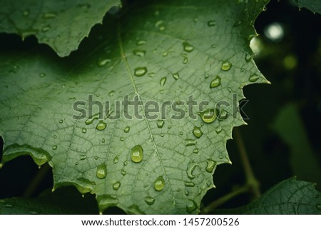 Green leaves in drops of dew. Morning dew on the leaf #1457200526