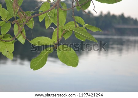 Green leaves in front of a calm river.  This snap is taken from Moozhikkulam, Aluva, Kerala.  The camera is Nikon D3100