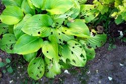 green leaves in garden eaten by slugs