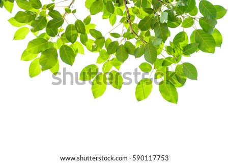 Green leaves isolated on white background #590117753