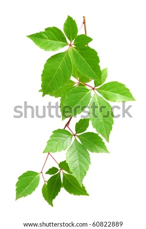 Green leaves isolated on white background #60822889