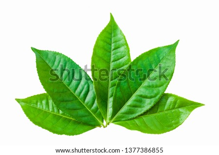 green leaves isolated on white background, fresh green tea leaves