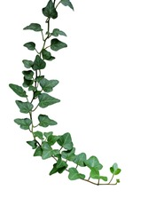 Green leaves ivy climbing vine plant, hanging branch of potted ivy indoor houseplant isolated on white background with clipping path.
