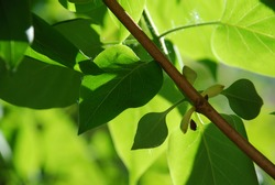 Green leaves of a lilac bush. Close-up on thin green branches and leaves of lilac. The leaves are partly sunlit and partly in shade from other leaves and branches.