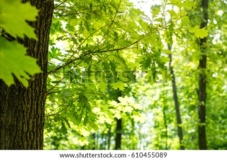 Green leaves of a maple tree in the forest #610455089