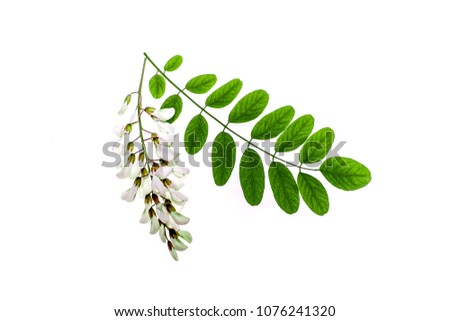 Photo of  Green leaves of Acacia Acacia and white flowers on a white background