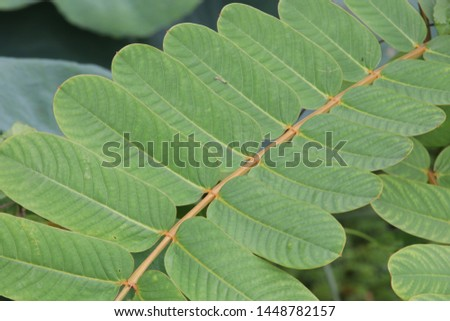 Green leaves of Acapulo background, another name is Candelabra bush, Candle bush, Ringworm bush. #1448782157