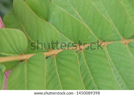 Green leaves of Acapulo background, another name is Candelabra bush, Candle bush, Ringworm bush. #1450089398