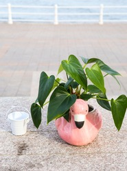 Green leaves of anthurium. Anthurium is a heart-shaped flower. Anthurium red. Flamingo flowers in the flamingo flowerpot. Anthurium andraeanum (Araceae or Arum) symbolize hospitality.