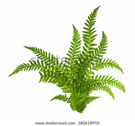 Green leaves of fern isolated on white #380618950