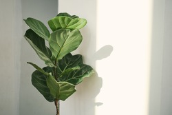 Green leaves of Fiddle Fig or Ficus Lyrata. Fiddle-leaf fig tree the popular ornamental tropical houseplant on white wall background,, Air purifying plants for home, Houseplants With Health Benefits