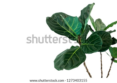 Green leaves of fiddle-leaf fig tree (Ficus lyrata) the popular ornamental tree tropical houseplant isolated on white background, clipping path included. Сток-фото ©