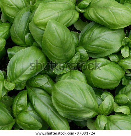 green leaves of fresh basil ready to be used in cooking in Italy