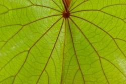 Green leaves of golden leaved liana (Bauhinia aureifolia K. & SSLarsen).