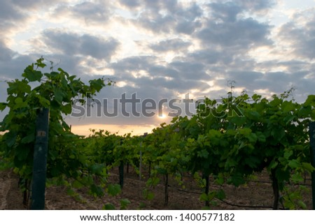 Green leaves of Grapevines growing on the posts and lined up in rows in a vineyard in Grapevine, Texas as the sun sets in the background casting orange and yellow hues in the gray, cloudy skies. #1400577182
