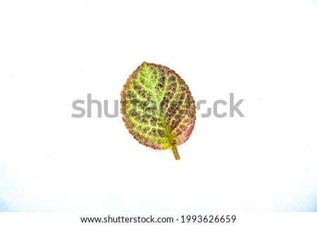 Green leaves of Indian borage on a white background