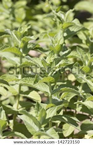 green leaves of melissa