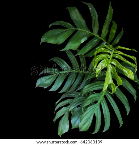 Green leaves of Monstera philodendron plant growing in wild, the tropical forest plant, evergreen vine on black background. #642063139