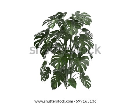 Green leaves of monstera plant growing in wild,Isolated on white background ,3D  rendering