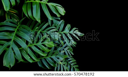 Green leaves of Monstera plant growing in wild, the tropical forest plant, evergreen vine on black background.  - stock photo