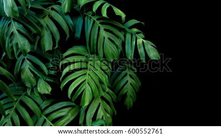 Green leaves of Monstera plant growing in wild, the tropical forest plant, evergreen vine on black background.