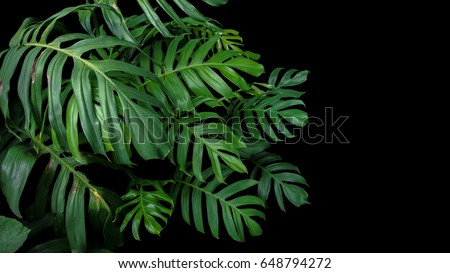 Green leaves of Monstera plant growing in wild, the tropical forest plant, evergreen vine on black background.  - Shutterstock ID 648794272