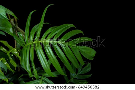 Green leaves of Monstera plant growing in wild, the tropical forest plant, evergreen vine on black background.  - Shutterstock ID 649450582