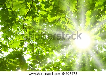 Green leaves of oak and sun - stock photo
