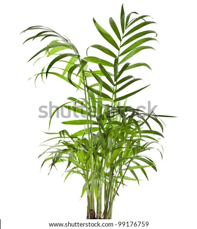 Green leaves of palm tree Howea isolated on white background #99176759
