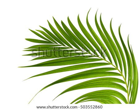 Green leaves of palm tree isolated on white background   #503552860