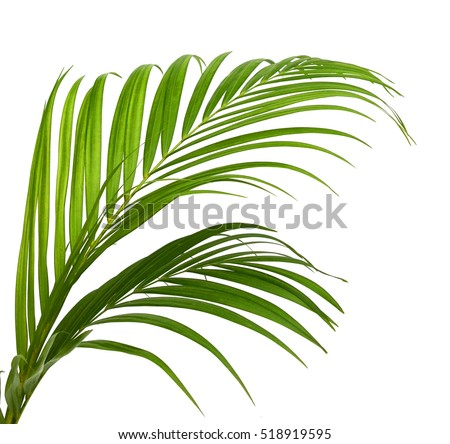 green leaves of palm tree isolated on white background #518919595