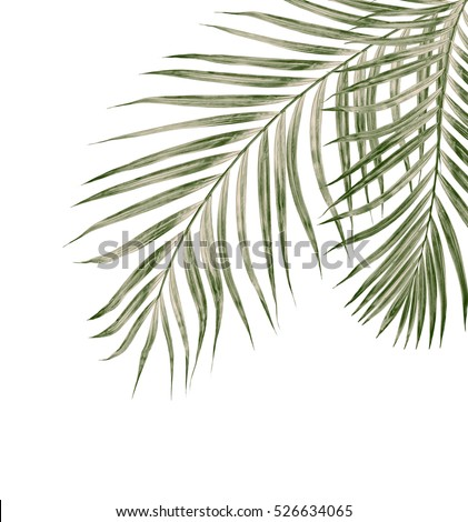 Green leaves of palm tree isolated on white background #526634065