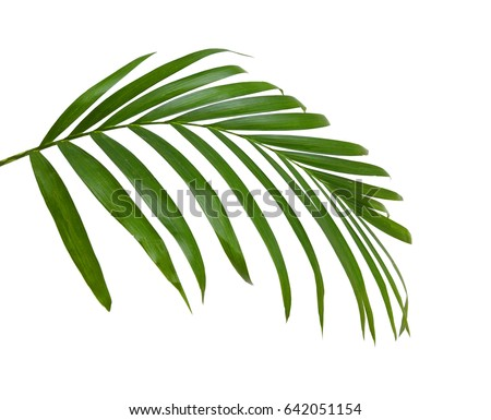 Green leaves of palm tree isolated on white background #642051154